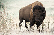 Bison Digital Art - American Bison by Robert A Rice