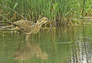 Deliberate Metal Prints - American Bittern Heron  Metal Print by Gracia  Molloy