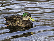 Green Bay Prints - American Black Duck Print by Thomas Young