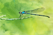 Oklahoma City Posters - American Bluet Damselfly Poster by Betty LaRue