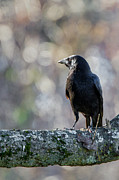 Bir Prints - American Crow Print by Bill  Wakeley