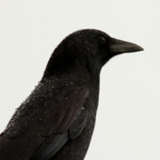American Crow Photos - American Crow - Black on White by Bob and Jan Shriner