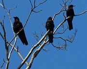 Passerines Posters - American Crows Poster by Gothicolors And Crows