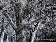 Jim Hubbard - American Elm