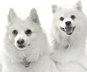 White Dogs Art - American Eskies by Julie Palencia