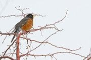 American Robin Framed Prints - American Female Robin Framed Print by James Bo Insogna