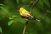 Bird In Tree Posters - American Gold Finch Poster by Sandy Keeton