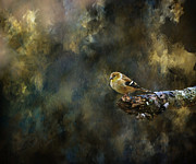 American Goldfinch 4 Print by Deena Stoddard