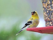 Robert ONeil - American Goldfinch at...