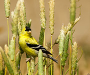 Spinus Tristis Prints - American Goldfinch Print by Carl Jackson
