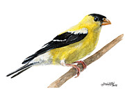 Canary Yellow Painting Prints - American Goldfinch Print by Carlo Ghirardelli