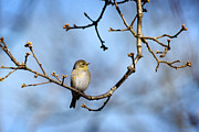 Finches Posters - American Goldfinch Poster by Christina Rollo