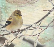 Diane Alexander - American Goldfinch in...