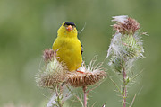 Jim Nelson - American Goldfinch