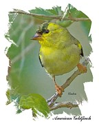 American Goldfinch Print by Larry Linton