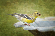 Bonnie Barry Art - American Goldfinch on Birdbath by Bonnie Barry