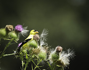 Tommytroutphoto Prints - American Goldfinch On Thistle Print by Thomas Young