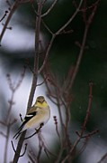 Spinus Tristis Prints - American Goldfinch Perched in Tree Print by  Onyonet  Photo Studios