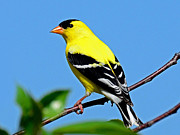 Rodney Campbell - American Goldfinch