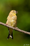 Jeff Goulden - American Goldfinch...