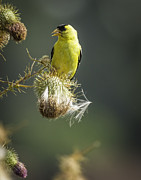 Wild Canary Posters - American Goldfinch  Poster by Thomas Young