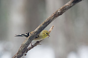 American Goldfinch Prints - American Goldfinch with Nest Material Print by Douglas Barnett