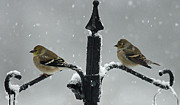 American Goldfinch Prints - American Goldfinches Print by Cindi Ressler