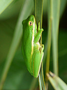Kim Pate Metal Prints - American Green Tree Frog Metal Print by Kim Pate