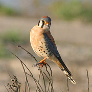 Hawk Pyrography - American Kestrel by Bob and Jan Shriner