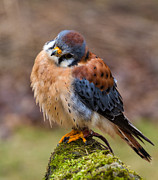 Craig Brown Art - American Kestrel by Craig Brown