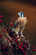 Photos With Red Posters - American Kestrel II Poster by Todd Bielby