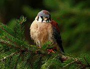 Keen Framed Prints - American Kestrel Nestled in the Pine Forest Framed Print by Inspired Nature Photography By Shelley Myke