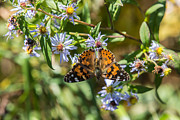 Blue Ridge Photos - American Lady Butterfly by John Haldane