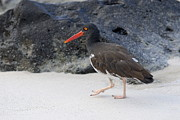 Oystercatcher Framed Prints - American Oystercatcher looking for food on beach Framed Print by Sami Sarkis