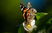 Vanessa Cardui Prints - American Painted Lady Butterfly Print by Robert Bales