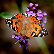 Karen Adams Acrylic Prints - American Painted Lady Butterfly Square Acrylic Print by Karen Adams