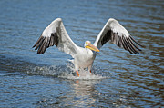 Pelican Landing Prints - American Pelican sliding in for a home run Print by Bonnie Barry
