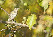 Watcher Originals - American Pipit by Graham Foulkes