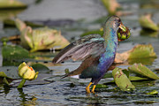 Alexander Galiano Posters - American Purple Gallinule Poster by Alexander Galiano