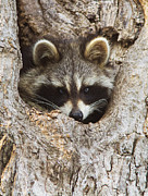 Mirceax Posters - American raccoon in spring Poster by Mircea Costina Photography