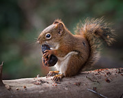 Jakub Sisak - American red squirrel