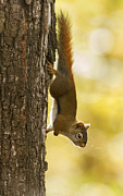 Screaming Posters - American Red Squirrel Poster by Mircea Costina Photography