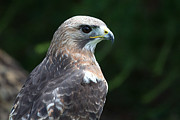 Celine Pollard - American Red-Tailed Hawk
