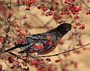 Shelley Myke Framed Prints - American Robin Eating Winter Berries Framed Print by Inspired Nature Photography By Shelley Myke