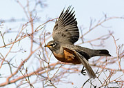 Stephen  Johnson - American Robin in Flight