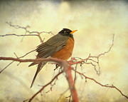 American Robin Posters - American Robin in The Springtime Poster by James Bo Insogna