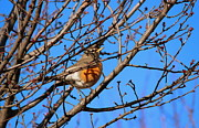 Brunch Prints - American Robin Print by Rima Biswas