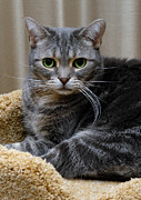Green Eyes Photos - American Shorthair Cat Portrait by Amy Cicconi