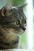 Green Eyes Posters - American Shorthair Cat Profile Poster by Amy Cicconi