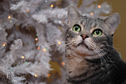 Eyes Metal Prints - American Shorthair Cat with Holiday Tree Metal Print by Amy Cicconi